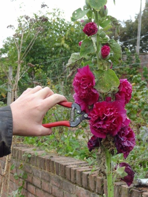 picking hollyhocks